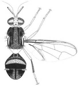 Bactrocera neohumeralis, Lesser Queensland Fruit Fly