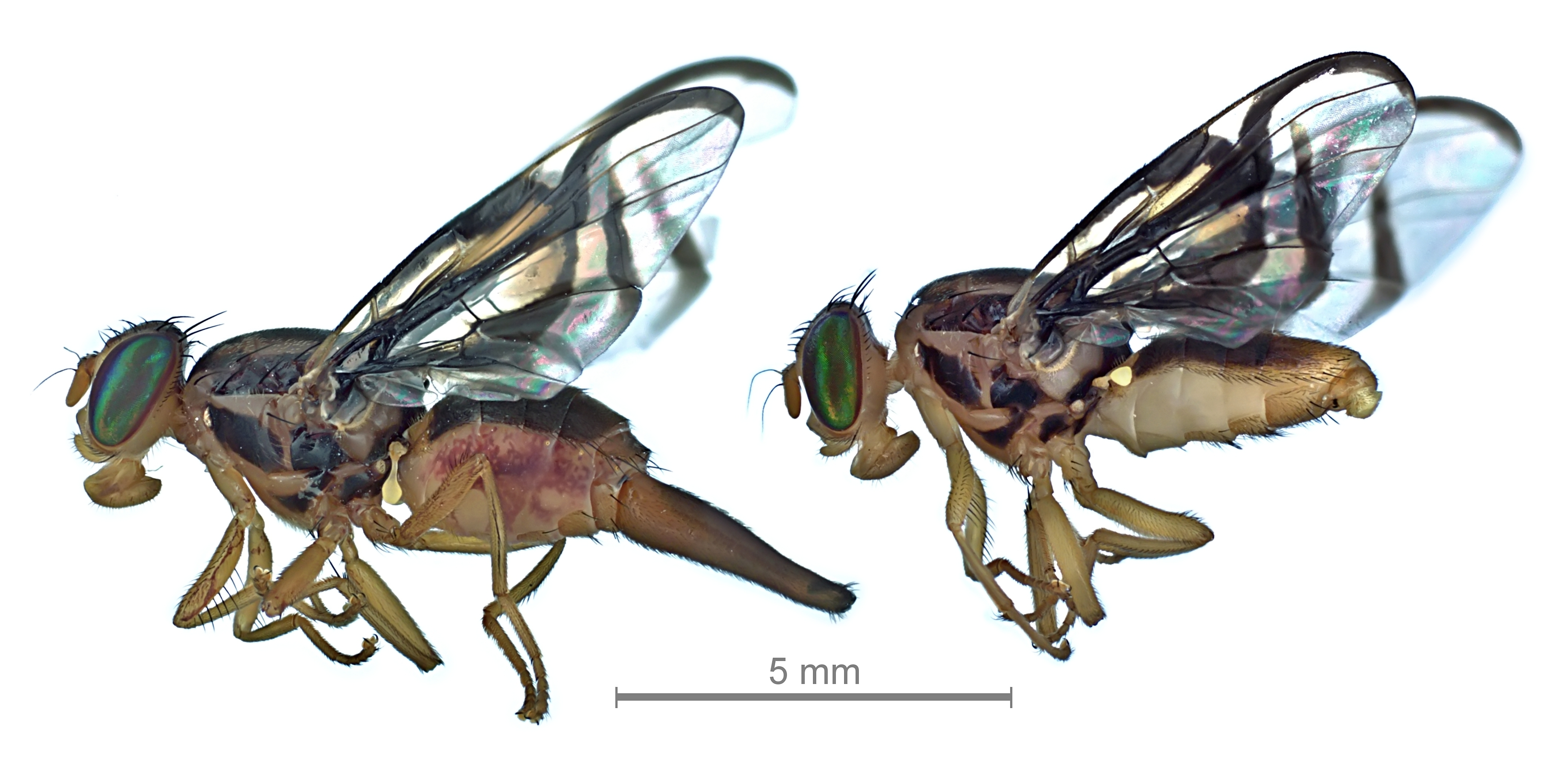 Sapote fruit fly, Anastrepha serpentina